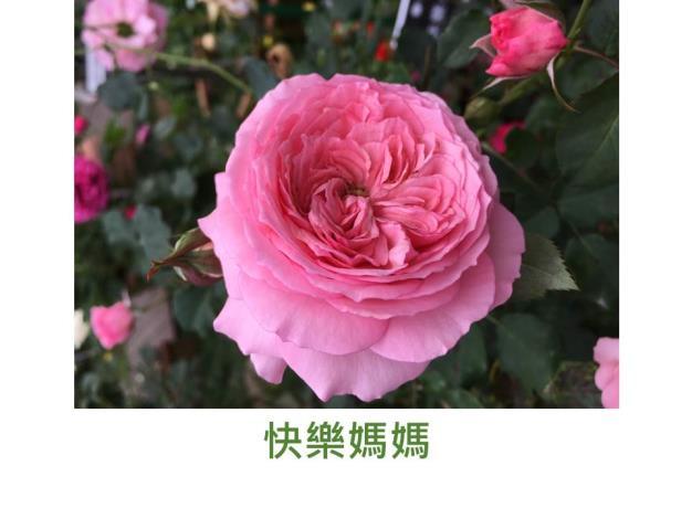 中輪豐花玫瑰,粉紅色,微香