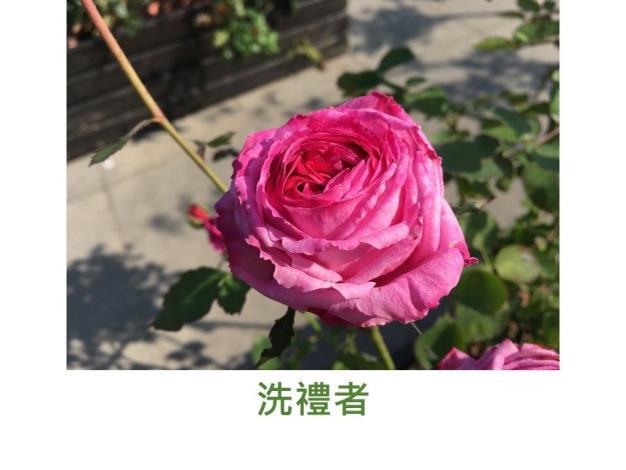 育出:日本.深粉至紫紅色