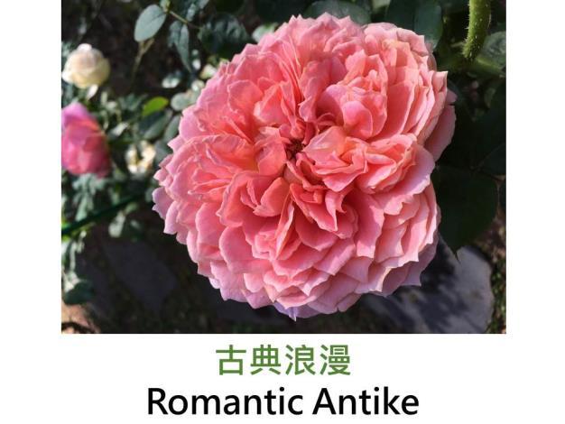 發表:2009德國,粉紅色,花心較深色,大輪重瓣杯狀花形,濃香