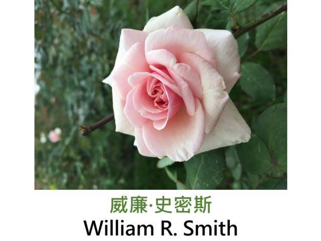 育出:1908美國,淺粉紅杏色外瓣較深,濃香