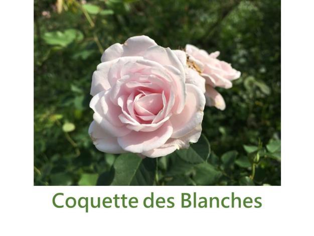 育出:1871法國,粉白色,杯狀球形,淡香