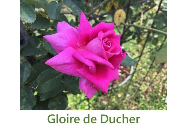 育出:1865法國.紫紅色.鈕扣眼.平杯型.淡香