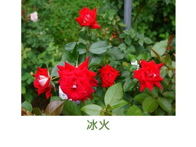 現代豐花矮叢玫瑰,育出:不詳,面紅背橙複色,重瓣杯狀平開