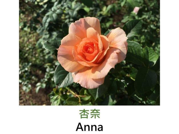 中輪豐花玫瑰,育出:2012日本,橙粉色,微香