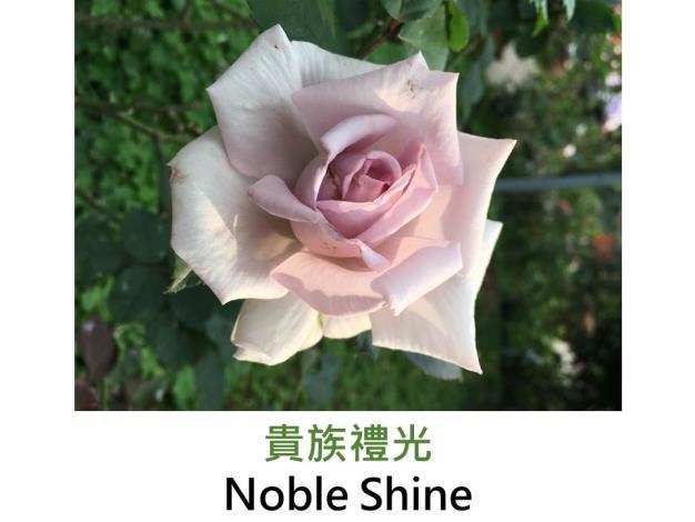 中輪豐花玫瑰,育出:2011日本,藍紫色,邊緣銀灰色,微香