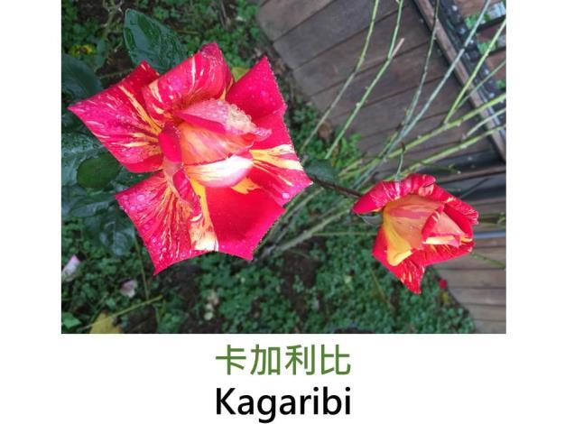 現代大花雜交茶香玫瑰,育出:1970日本,紅黃色絞紋,半劍瓣型,淡香