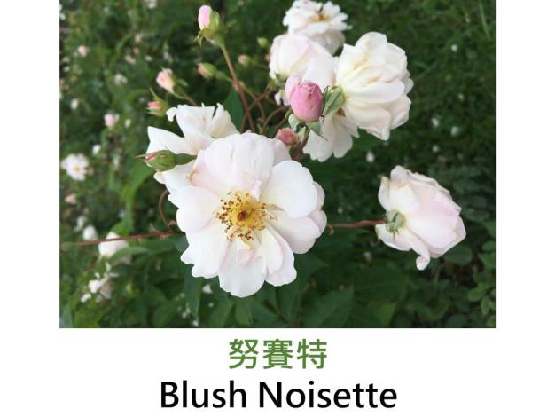 攀緣玫瑰,育出:1814美國,淡粉紅色,圓瓣平開型,微香