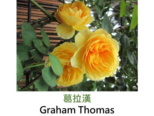 大花灌木玫瑰,育出:1983英國,深黃色,深杯狀重瓣,甜美茶香