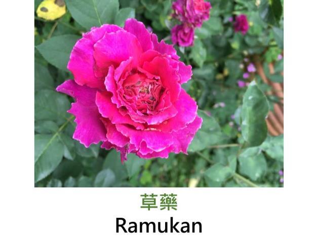 小型灌木玫瑰,育出:日本,紫紅色,瓣緣鋸齒狀,中香