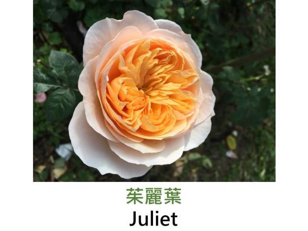 育出:1999英國,杏色,重瓣杯狀花形,淡香