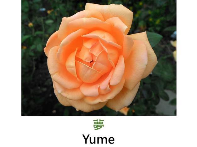 現代大花雜交茶香玫瑰,育出:1994日本,螢光橘橙色,半劍瓣高心形,淡香