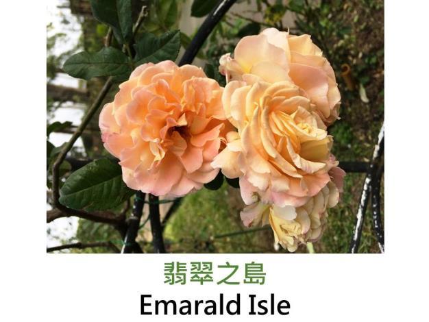 蔓性玫瑰,育出:2008英國,杏黃色,外瓣黃綠色,波浪瓣古典花形,微香