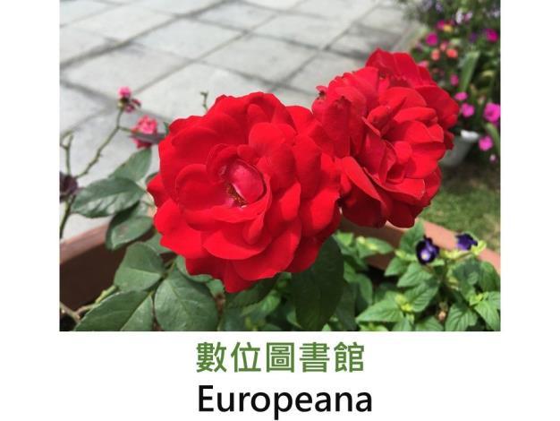 中輪豐花玫瑰.育出:1963荷蘭.深紅色.半重瓣.微香