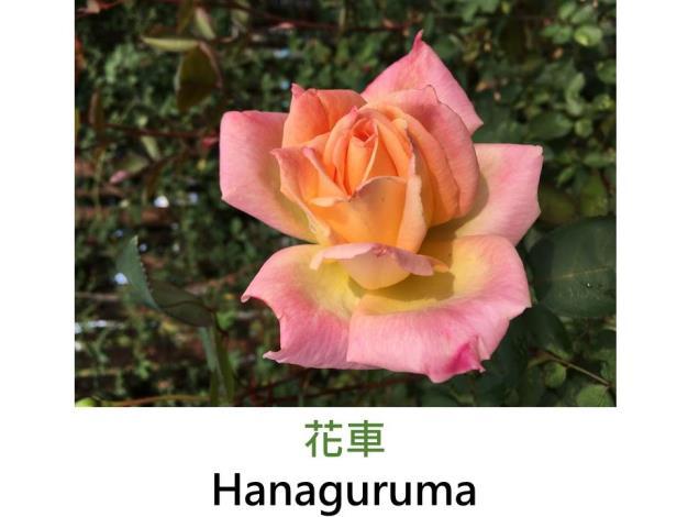 現代大花雜交茶香玫瑰,育出:1977日本,淡黃白瓣端桃紅色,劍瓣高心形,淡香