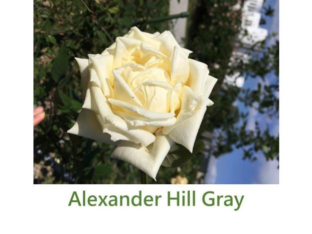 灌木玫瑰,育出:1909英國,檸檬黃色,高心型,濃香