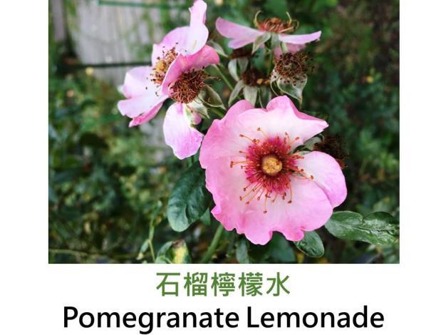 豐花灌木玫瑰,育出:2008美國,深粉色,白色底紋,紫紅中心,半重瓣杯狀花形,無香