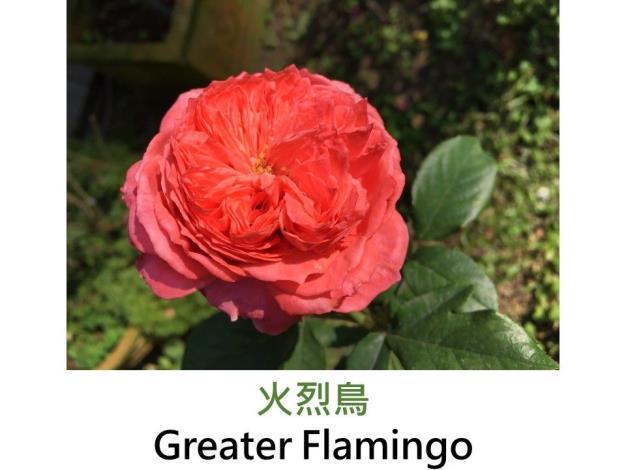 育出:中國.橘紅色.濃香