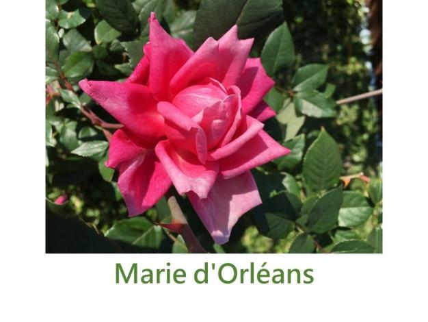 攀緣玫瑰.育出:1883法國.深粉紅色.劍瓣