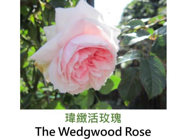 現代英國灌木玫瑰,育出:2009英國,玫瑰粉,重瓣杯狀半球形,微果香