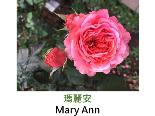 豐花玫瑰,育出:2010德國,橙至櫻桃色,溫和花香