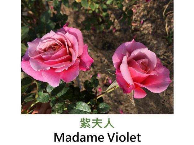 現代雜交茶香玫瑰,育出:1981日本,紫紅色,重瓣高心杯狀花形,淡香