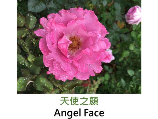 現代豐花矮叢玫瑰,育出:1968美國,紫色,波浪瓣杯形,強香