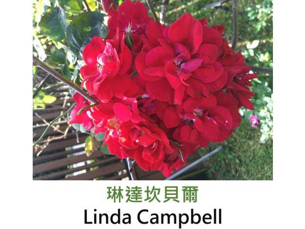 現代雜交灌木玫瑰,育出:1990美國,紅色,重瓣平狀叢開