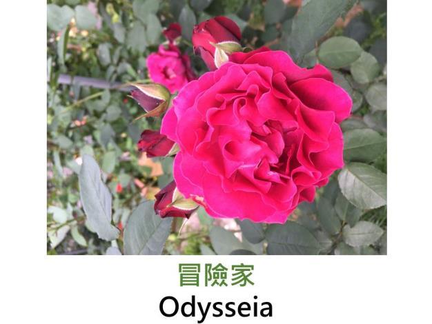 中小輪灌木玫瑰,育出:2015日本,深紅帶紫色,波浪瓣,強香