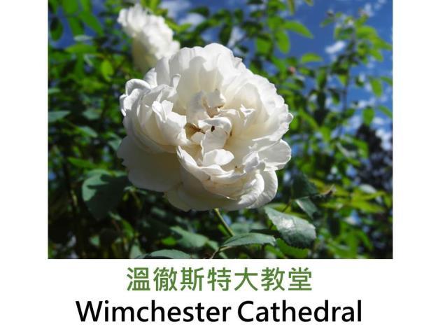 現代英國灌木玫瑰,育出:1988英國,白重瓣,古典圓狀花型,甜香