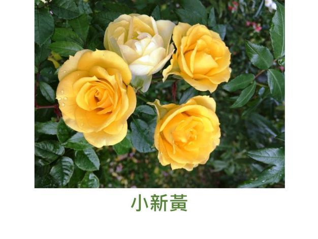 現代迷你矮叢玫瑰,育出:不詳,金黃強健,一莖多花,開花持久