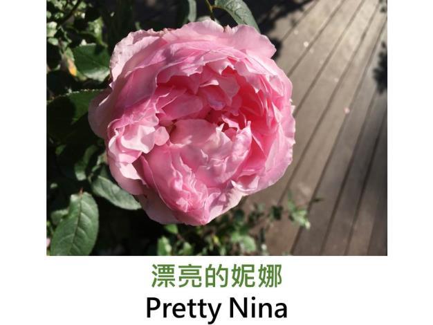 育出:2016日本,粉紅色,杯狀花形,微香