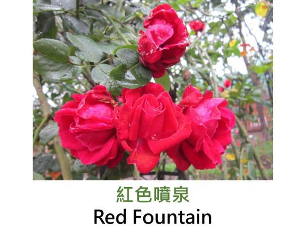 現代大花攀緣玫瑰,育出:1970日本,桃橙色,微香