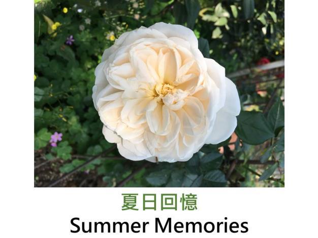 灌木玫瑰,育出:1992德國,奶油白色,古典花形,微香