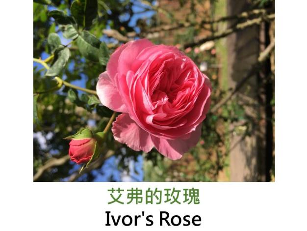 灌木玫瑰,育出:2004前,英國,深紛紅色,重瓣古典花形,強香