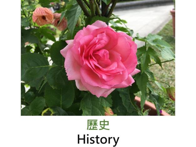 育出:2002德國.桃粉色.杯型.花型碩大.淡香
