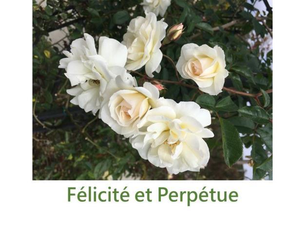 育出:1827法國.淺粉紅至白色.杯型至扁平.鈕扣眼.濃香