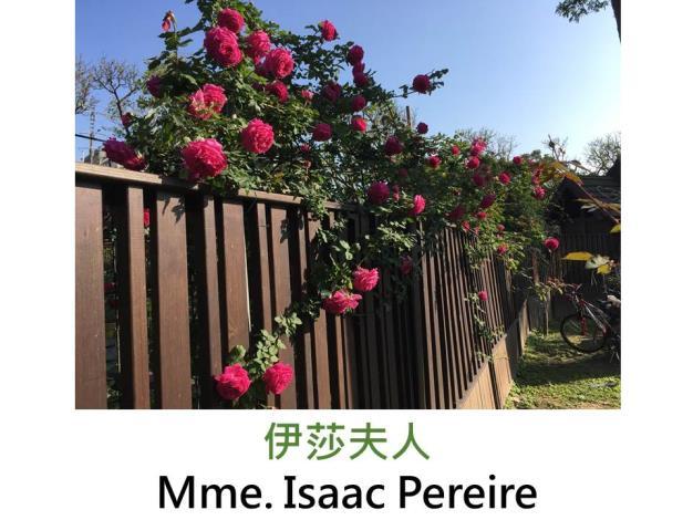 蔓性玫瑰,育出:1880法國,洋紅色,濃香