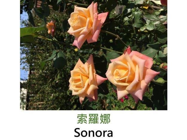 現代豐花矮叢玫瑰,育出 : 1962美國, 乳黃辦端桃紅,半劍瓣高心形,微香