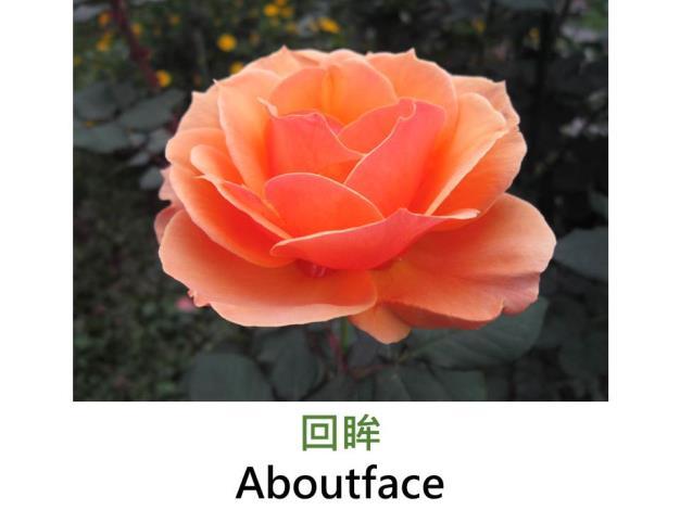 育出:2003美國,橘色背橙紅,圓瓣高心形,強香