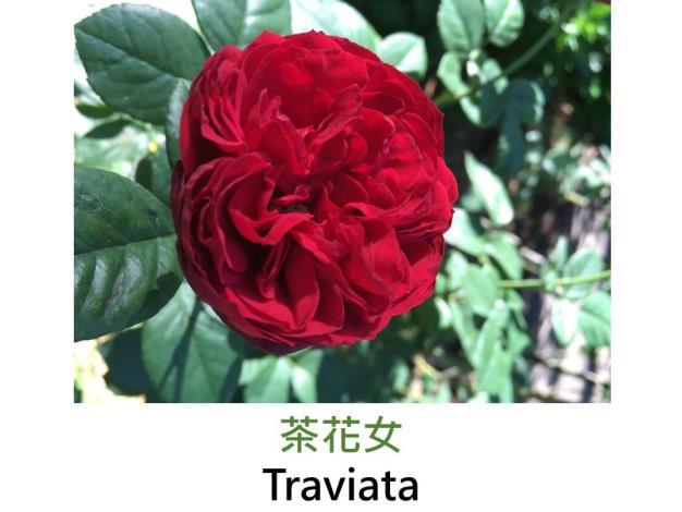 現代雜交茶香玫瑰,育出:1997法國,深紅色,完全重瓣四分簇生花形