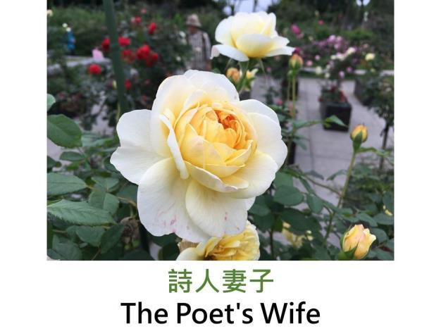 灌木英國玫瑰,育出:2014英國,黃色,杯狀花形,濃香