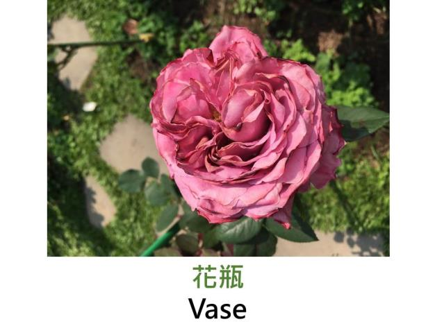 育出:2011日本,粉紅帶紫色,微香