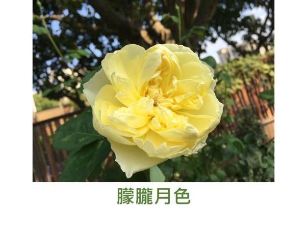 灌木玫瑰.育出:中國.淺黃色.杯形.鈕扣眼.淡香