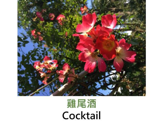 現代豐花灌木玫瑰,育出:1957法國,鮮紅瓣心鮮黃,單瓣平開,淡香,可培養成花柱花牆型攀緣玫瑰