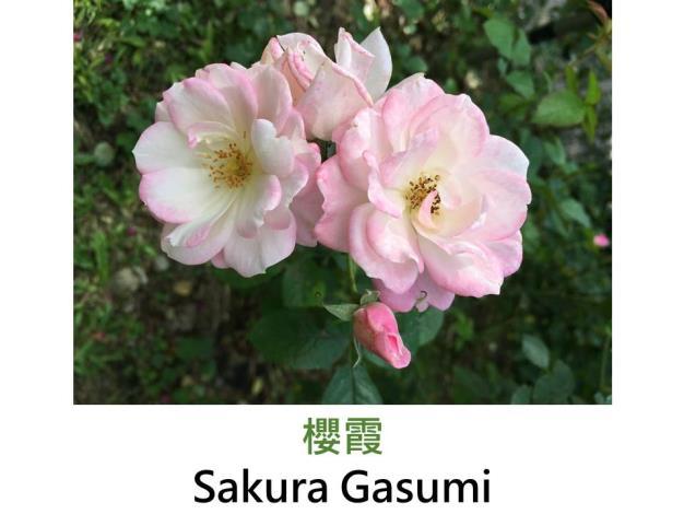 現代豐花矮叢玫瑰,育出:1999日本,淡粉色,圓瓣高心形,微香