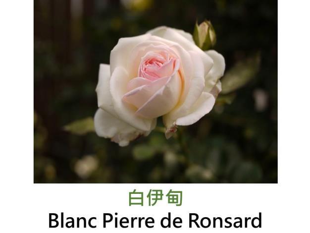 蔓性玫瑰,圓瓣杯形,白色,微香