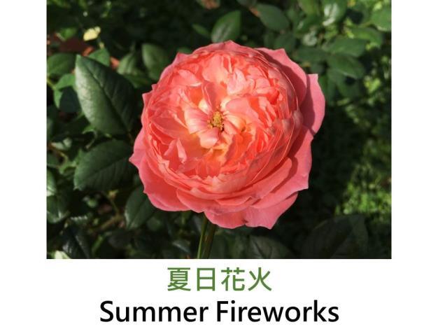 豐花灌木玫瑰.育出:2013中國.鮭粉色.蓮座型.淡香