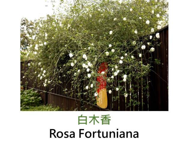 古典中國雜交花園玫瑰,發表:1840英國,白色重瓣叢開,濃香