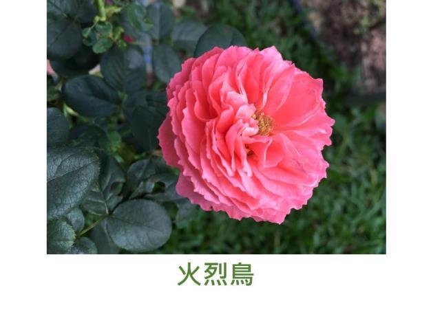 中輪豐花灌木玫瑰,朱紅色,古典花型,微香
