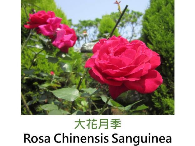 野生玫瑰,紫紅,蕊心鮮黃,重瓣杯形,中香
